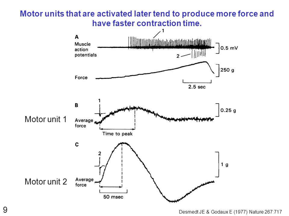 9 Motor units that are activated later tend to produce more force and have faster contraction time. Motor unit 1 Motor unit 2 Desmedt JE & Godaux E (1