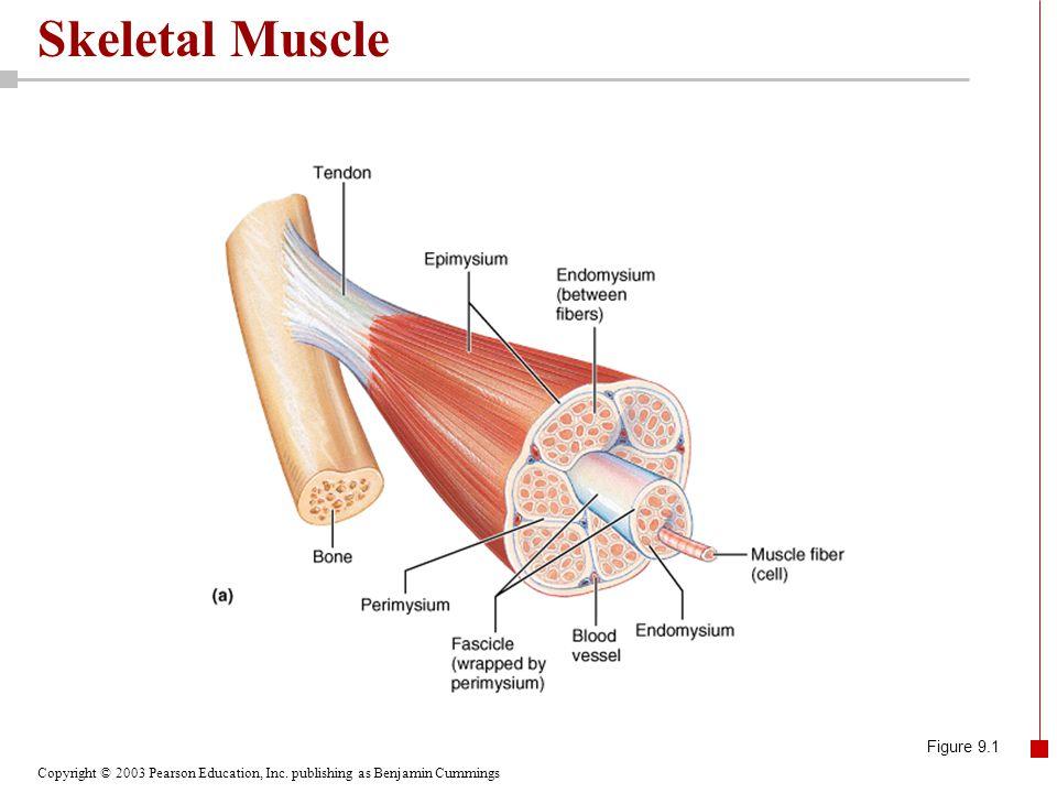 Copyright © 2003 Pearson Education, Inc. publishing as Benjamin Cummings Skeletal Muscle Figure 9.1
