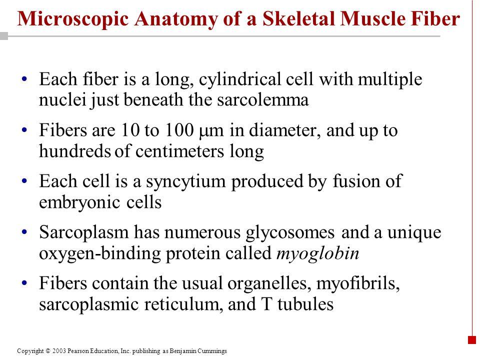 Copyright © 2003 Pearson Education, Inc. publishing as Benjamin Cummings Microscopic Anatomy of a Skeletal Muscle Fiber Each fiber is a long, cylindri