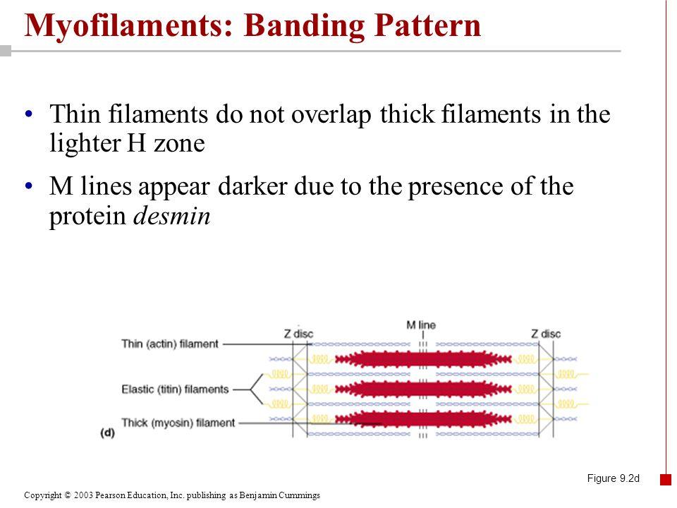 Copyright © 2003 Pearson Education, Inc. publishing as Benjamin Cummings Myofilaments: Banding Pattern Thin filaments do not overlap thick filaments i