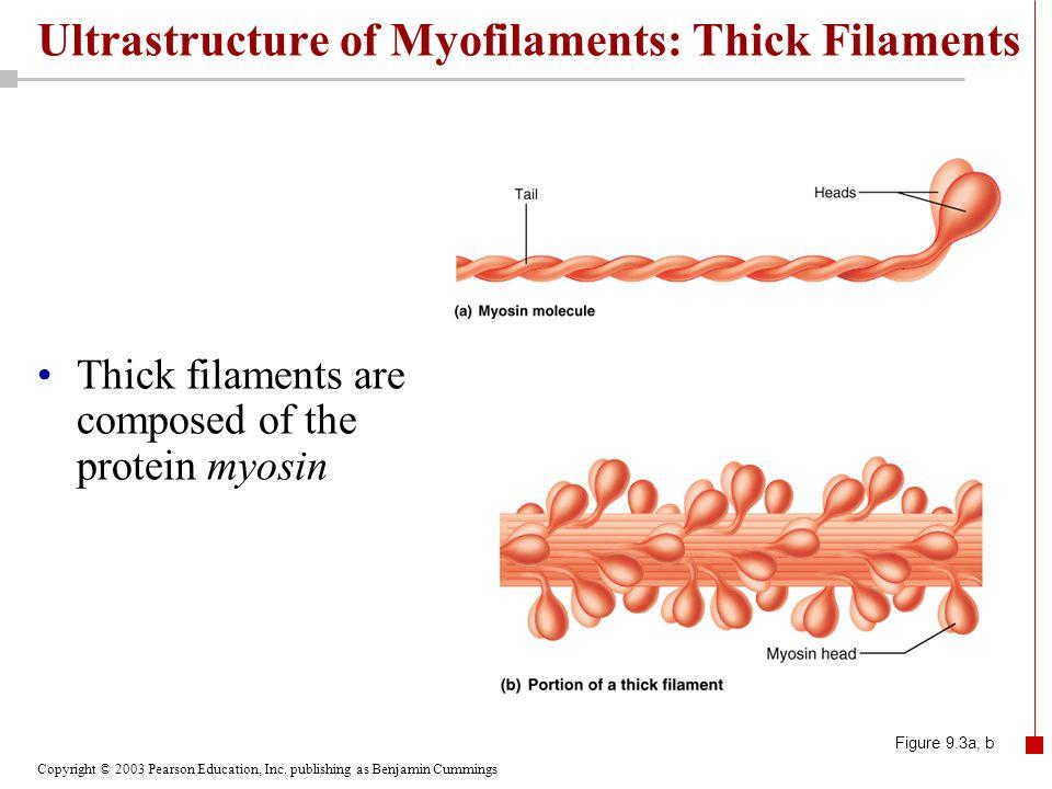Copyright © 2003 Pearson Education, Inc. publishing as Benjamin Cummings Ultrastructure of Myofilaments: Thick Filaments Thick filaments are composed
