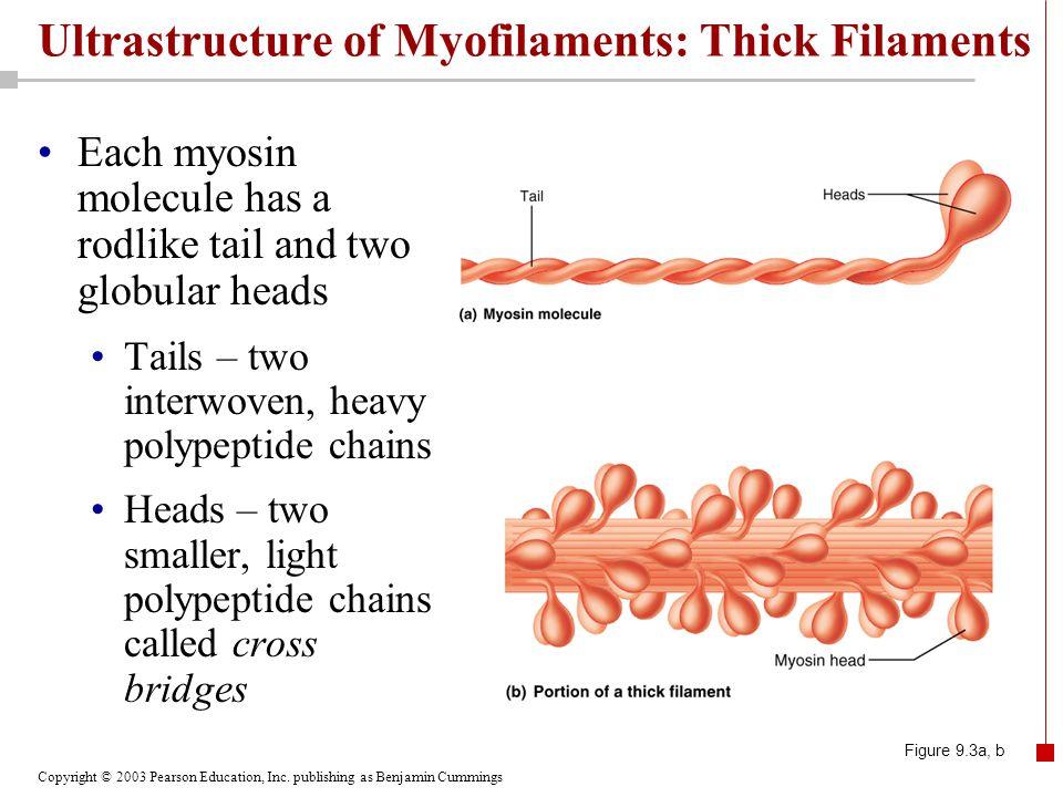 Copyright © 2003 Pearson Education, Inc. publishing as Benjamin Cummings Ultrastructure of Myofilaments: Thick Filaments Each myosin molecule has a ro