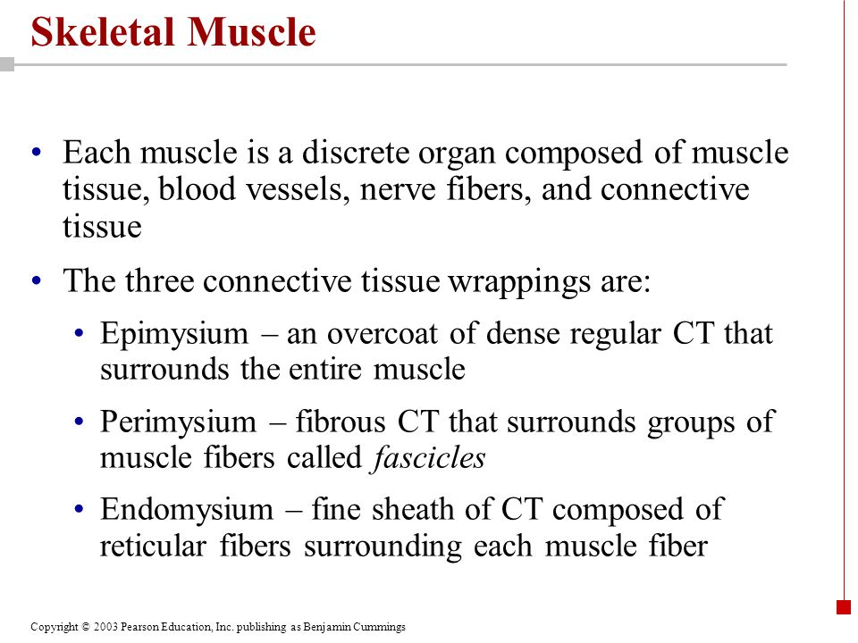 Copyright © 2003 Pearson Education, Inc. publishing as Benjamin Cummings Skeletal Muscle Each muscle is a discrete organ composed of muscle tissue, bl