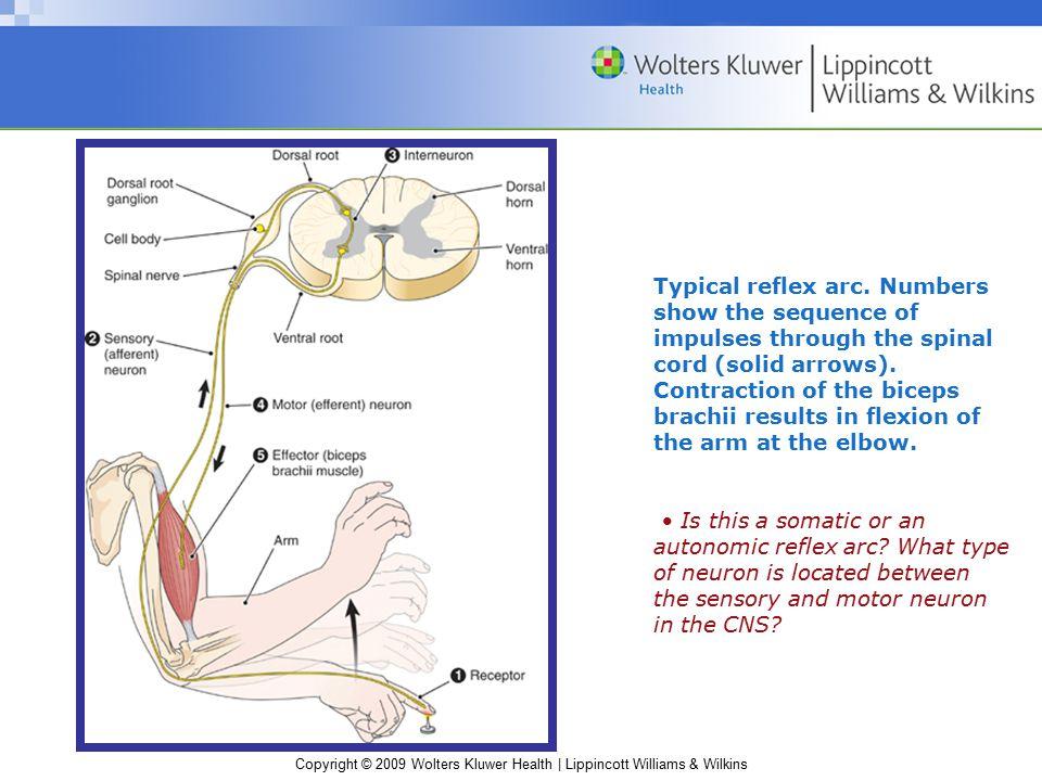 Copyright © 2009 Wolters Kluwer Health | Lippincott Williams & Wilkins Typical reflex arc.