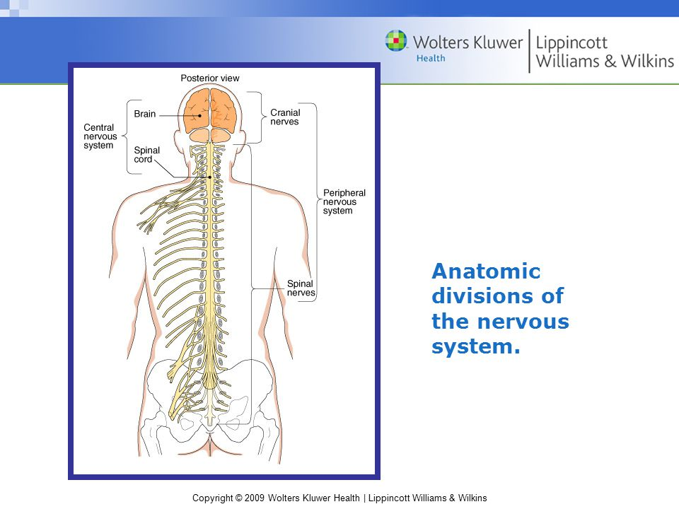Copyright © 2009 Wolters Kluwer Health | Lippincott Williams & Wilkins Anatomic divisions of the nervous system.