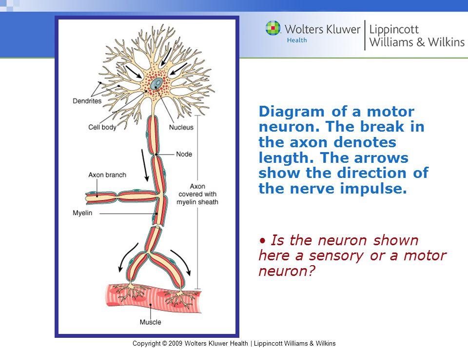 Copyright © 2009 Wolters Kluwer Health | Lippincott Williams & Wilkins Diagram of a motor neuron.