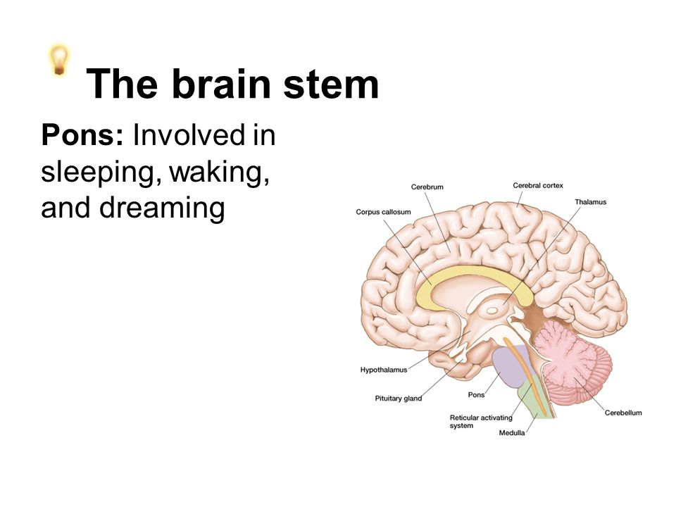 The brain stem Pons: Involved in sleeping, waking, and dreaming