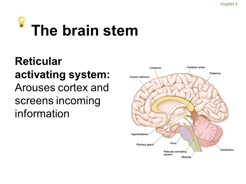 The brain stem Reticular activating system: Arouses cortex and screens incoming information chapter 4