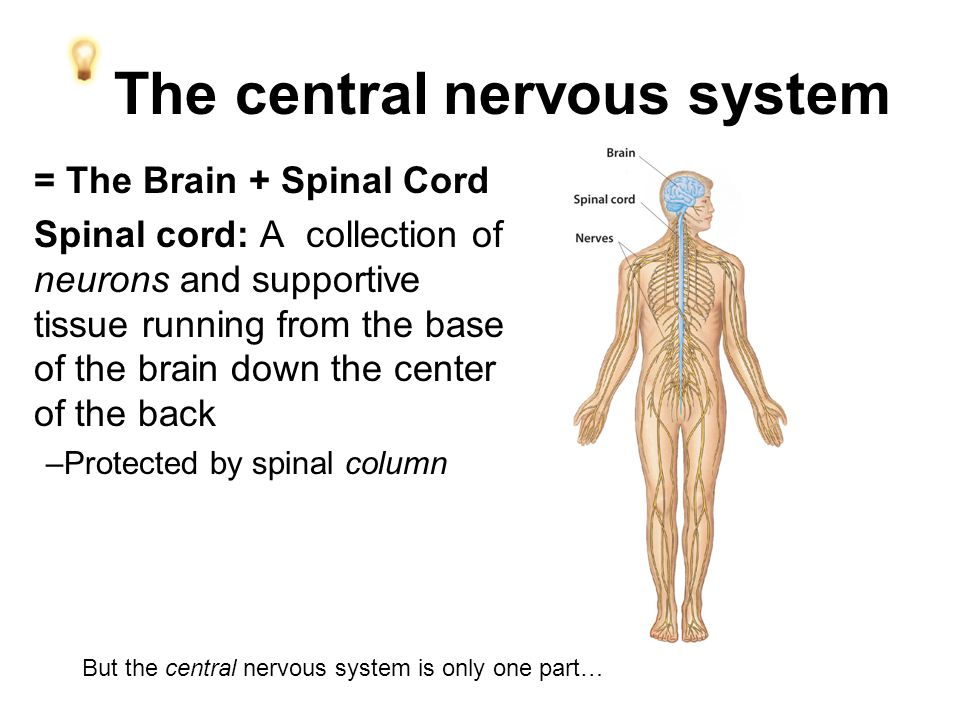 The central nervous system = The Brain + Spinal Cord Spinal cord: A collection of neurons and supportive tissue running from the base of the brain down the center of the back –Protected by spinal column But the central nervous system is only one part…