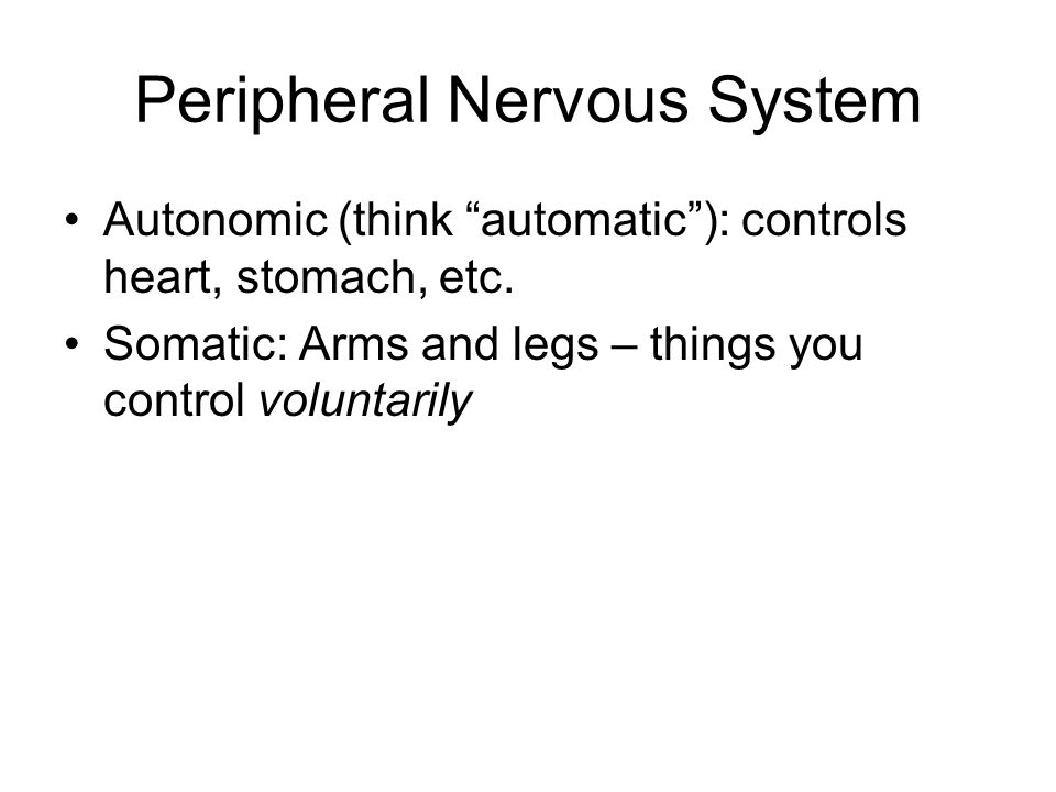 "Peripheral Nervous System Autonomic (think ""automatic""): controls heart, stomach, etc. Somatic: Arms and legs – things you control voluntarily"