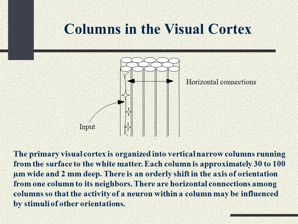 Input Horizontal connections The primary visual cortex is organized into vertical narrow columns running from the surface to the white matter.