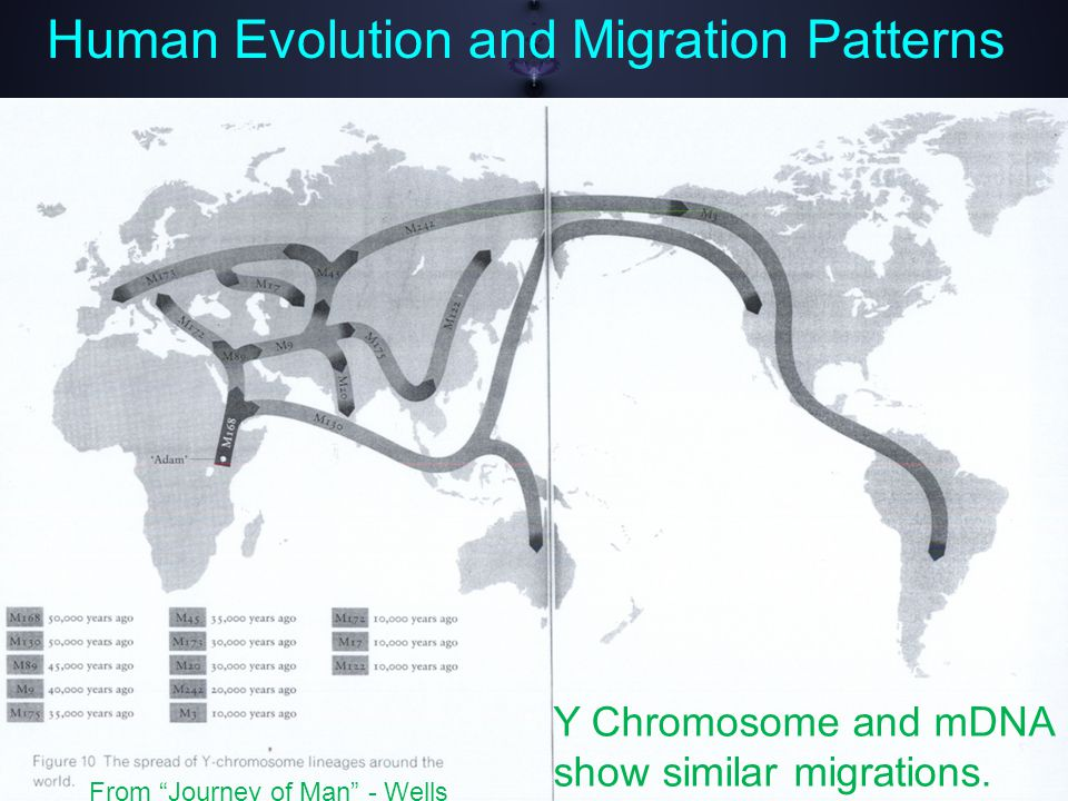 Human Evolution and Migration Patterns Y Chromosome and mDNA show similar migrations.