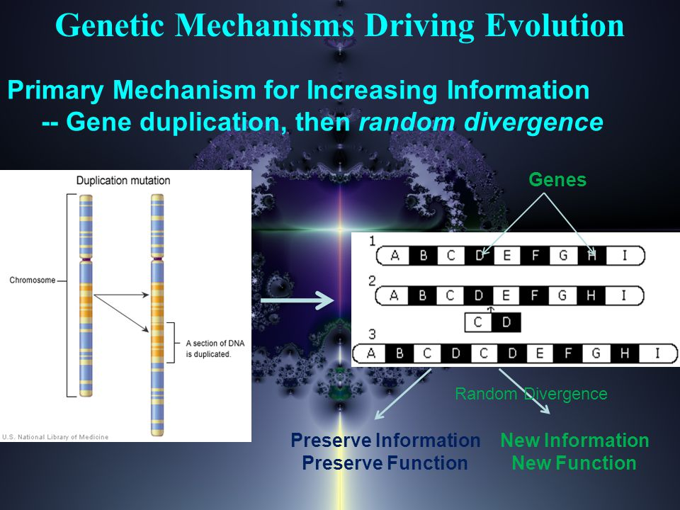 Genetic Mechanisms Driving Evolution Primary Mechanism for Increasing Information -- Gene duplication, then random divergence Preserve Information Preserve Function New Information New Function Random Divergence Genes