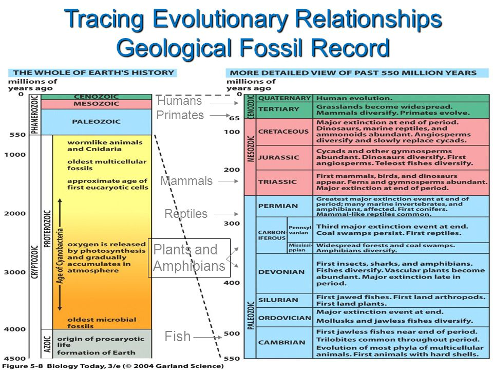 Figure 5.8 Tracing Evolutionary Relationships Geological Fossil Record Fish Plants and Amphibians Reptiles Mammals Primates Humans