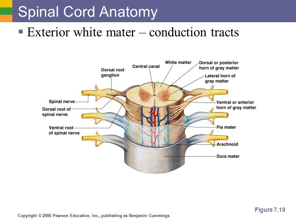 Copyright © 2006 Pearson Education, Inc., publishing as Benjamin Cummings Spinal Cord Anatomy  Exterior white mater – conduction tracts Figure 7.19
