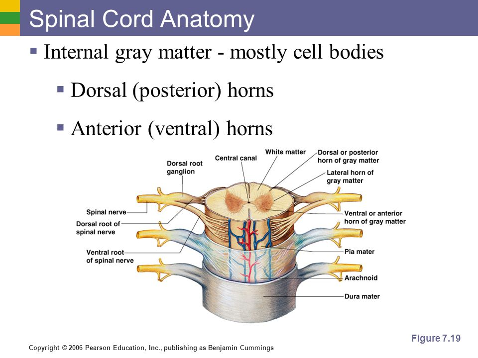 Copyright © 2006 Pearson Education, Inc., publishing as Benjamin Cummings Spinal Cord Anatomy  Internal gray matter - mostly cell bodies  Dorsal (po