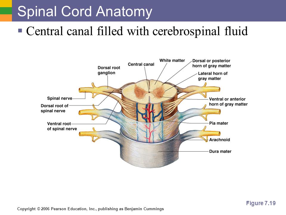 Copyright © 2006 Pearson Education, Inc., publishing as Benjamin Cummings Spinal Cord Anatomy  Central canal filled with cerebrospinal fluid Figure 7