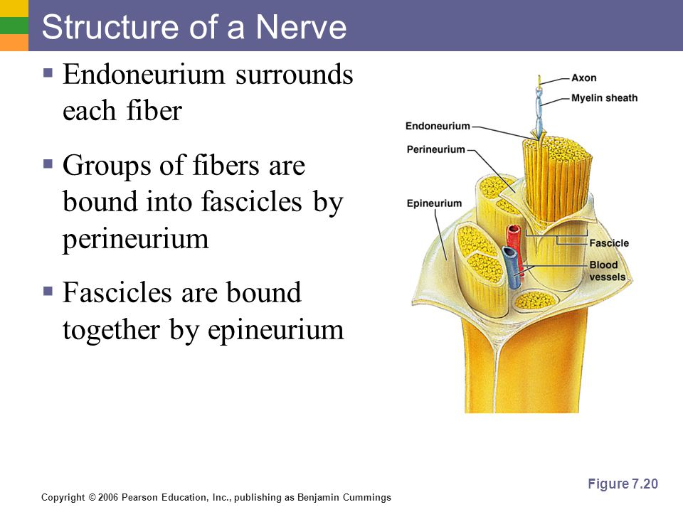 Copyright © 2006 Pearson Education, Inc., publishing as Benjamin Cummings Structure of a Nerve  Endoneurium surrounds each fiber  Groups of fibers a