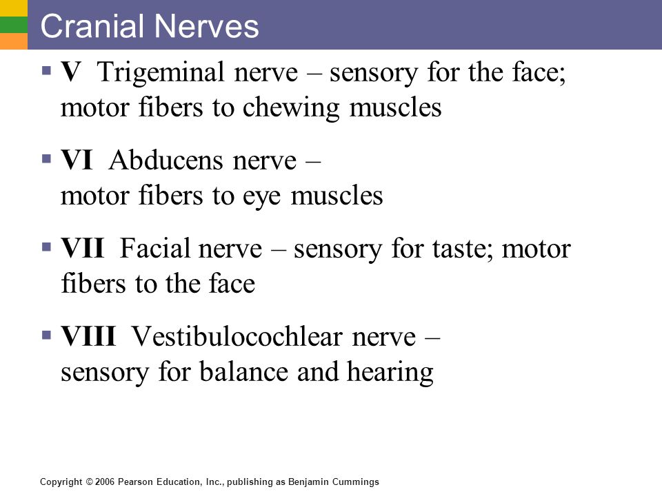 Copyright © 2006 Pearson Education, Inc., publishing as Benjamin Cummings Cranial Nerves  V Trigeminal nerve – sensory for the face; motor fibers to chewing muscles  VI Abducens nerve – motor fibers to eye muscles  VII Facial nerve – sensory for taste; motor fibers to the face  VIII Vestibulocochlear nerve – sensory for balance and hearing