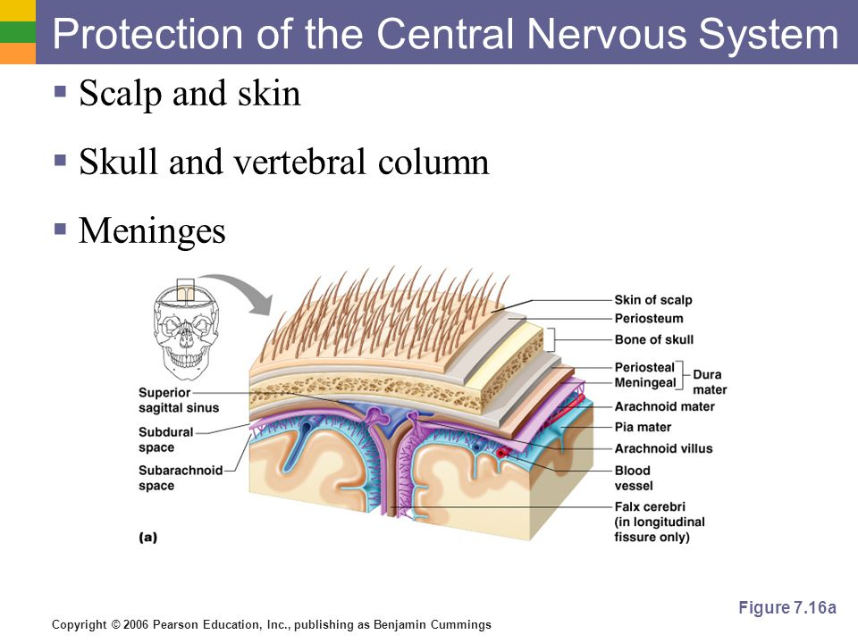 Copyright © 2006 Pearson Education, Inc., publishing as Benjamin Cummings Protection of the Central Nervous System  Scalp and skin  Skull and vertebral column  Meninges Figure 7.16a
