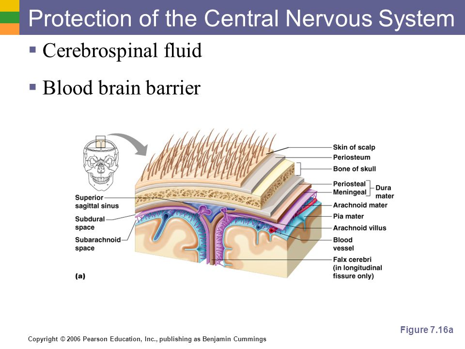 Copyright © 2006 Pearson Education, Inc., publishing as Benjamin Cummings Protection of the Central Nervous System  Cerebrospinal fluid  Blood brain