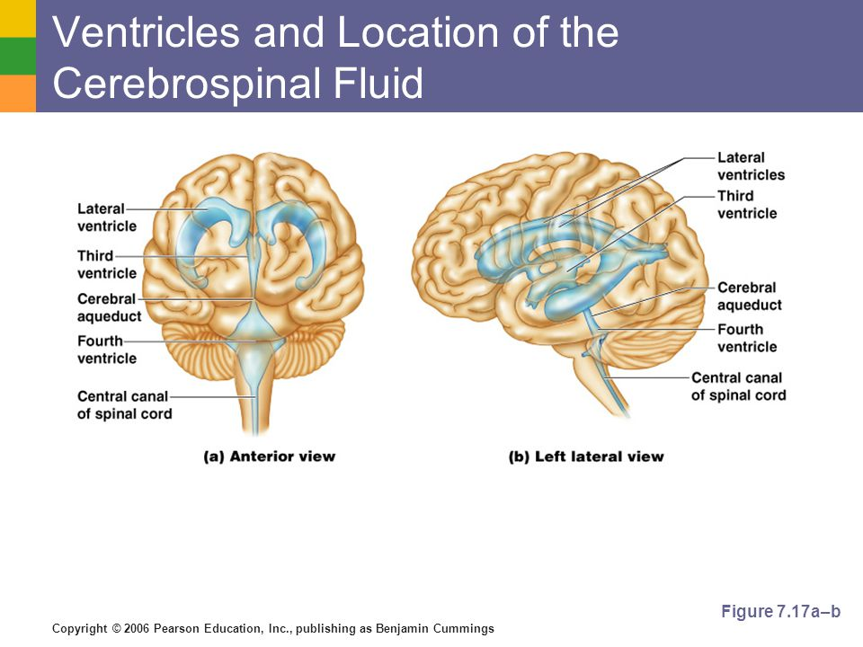 Copyright © 2006 Pearson Education, Inc., publishing as Benjamin Cummings Ventricles and Location of the Cerebrospinal Fluid Figure 7.17a–b