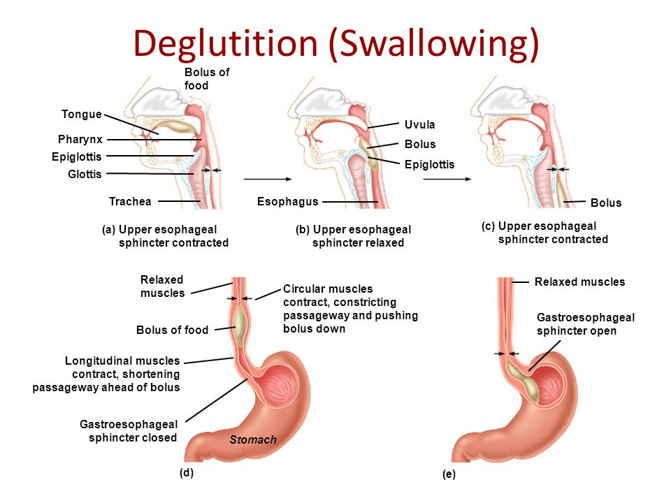 Deglutition (Swallowing) (a) Upper esophageal sphincter contracted (b) Upper esophageal sphincter relaxed (c) Upper esophageal sphincter contracted (e