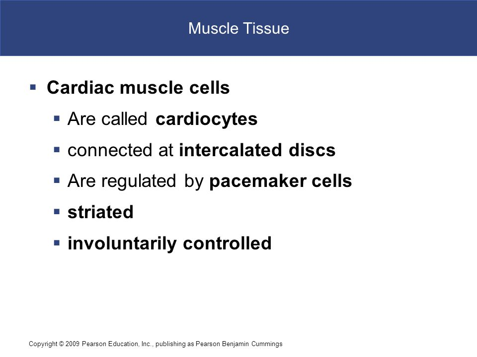Copyright © 2009 Pearson Education, Inc., publishing as Pearson Benjamin Cummings Muscle Tissue  Cardiac muscle cells  Are called cardiocytes  connected at intercalated discs  Are regulated by pacemaker cells  striated  involuntarily controlled