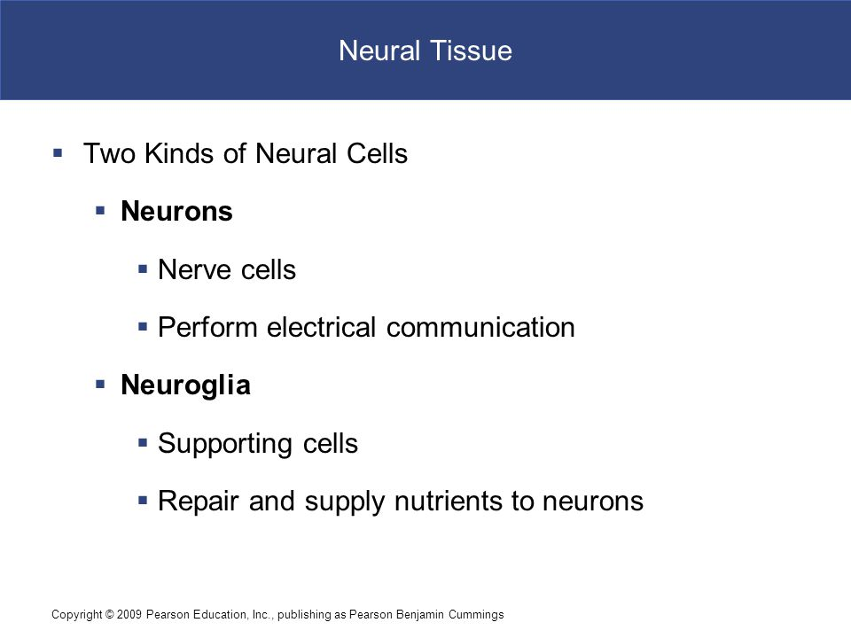 Copyright © 2009 Pearson Education, Inc., publishing as Pearson Benjamin Cummings Neural Tissue  Two Kinds of Neural Cells  Neurons  Nerve cells 