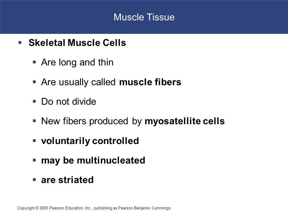 Copyright © 2009 Pearson Education, Inc., publishing as Pearson Benjamin Cummings Muscle Tissue Figure 4–18 Muscle Tissue.