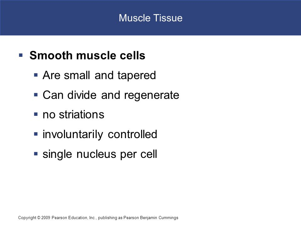 Copyright © 2009 Pearson Education, Inc., publishing as Pearson Benjamin Cummings Muscle Tissue  Smooth muscle cells  Are small and tapered  Can di