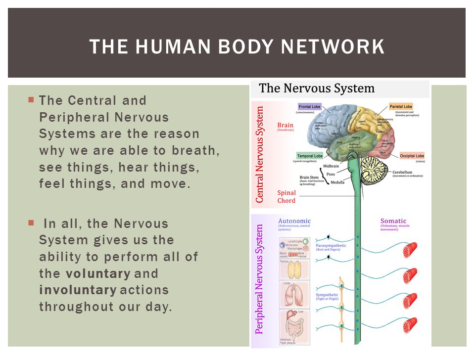  The Central and Peripheral Nervous Systems are the reason why we are able to breath, see things, hear things, feel things, and move.  In all, the N