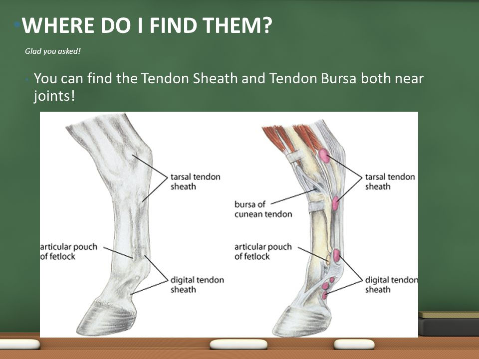 You can find the Tendon Sheath and Tendon Bursa both near joints.