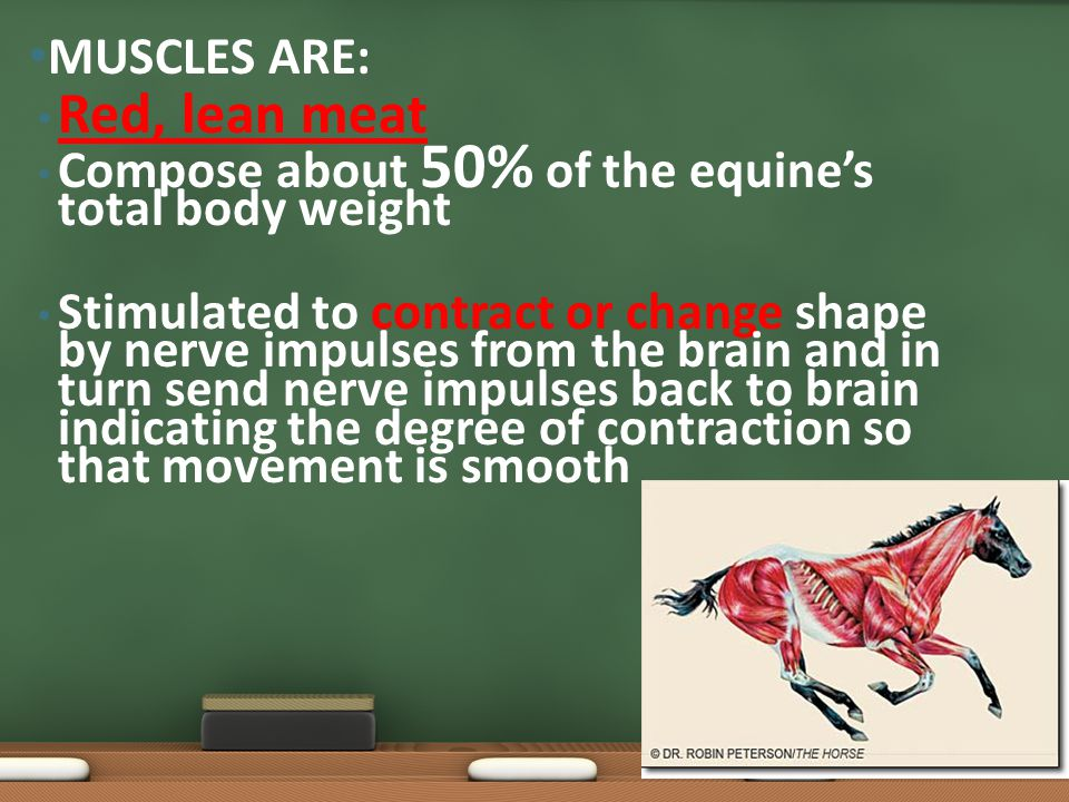 Red, lean meat Compose about 50% of the equine's total body weight Stimulated to contract or change shape by nerve impulses from the brain and in turn send nerve impulses back to brain indicating the degree of contraction so that movement is smooth MUSCLES ARE: