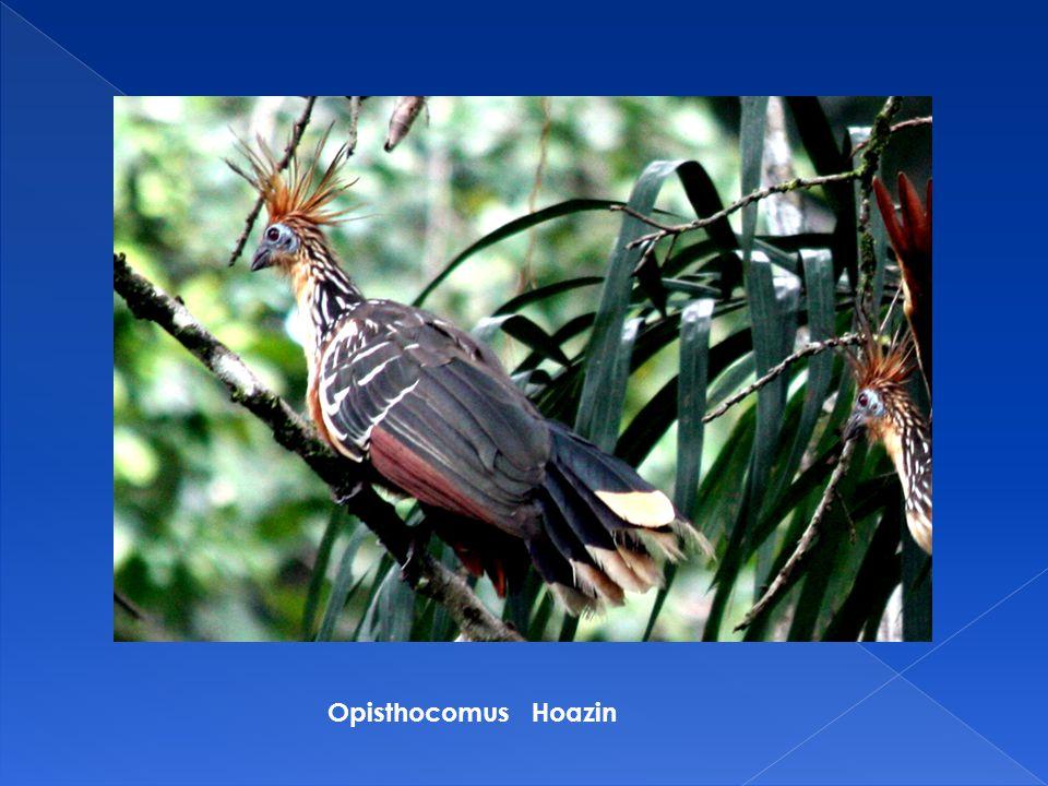 Opisthocomus Hoazin