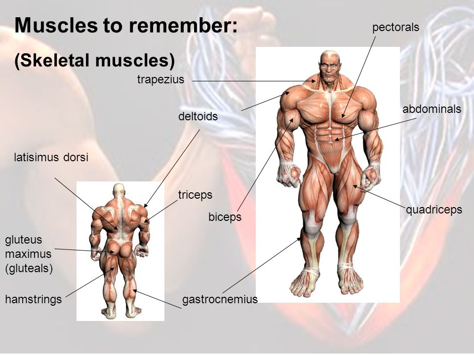 3 TYPES OF MUSCLE Voluntary (Skeletal muscle) - These muscles make up the majority of the muscle amount in your body and help to give your body its shape.
