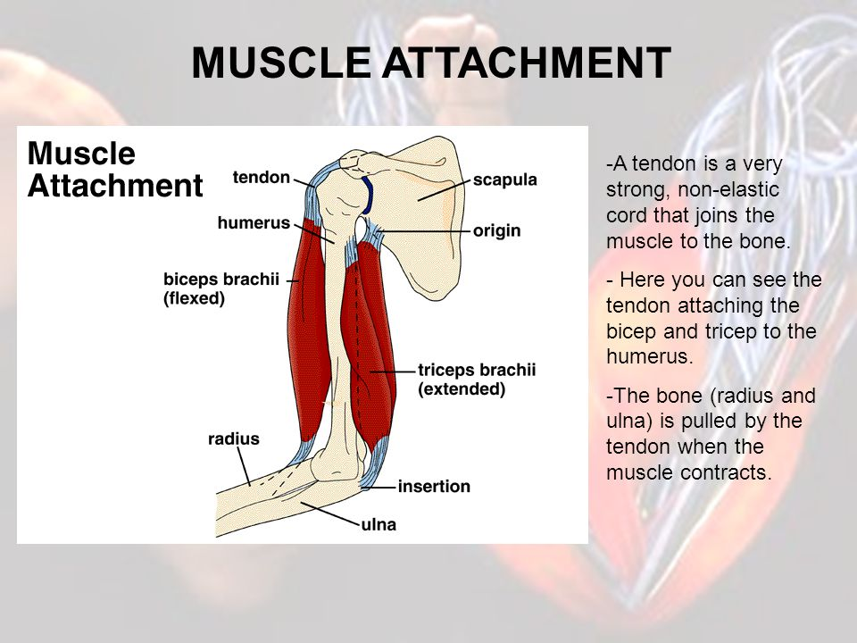 THE ACTIONS OF MUSCLES Muscles are designed to contract, therefore they can only pull and not push.
