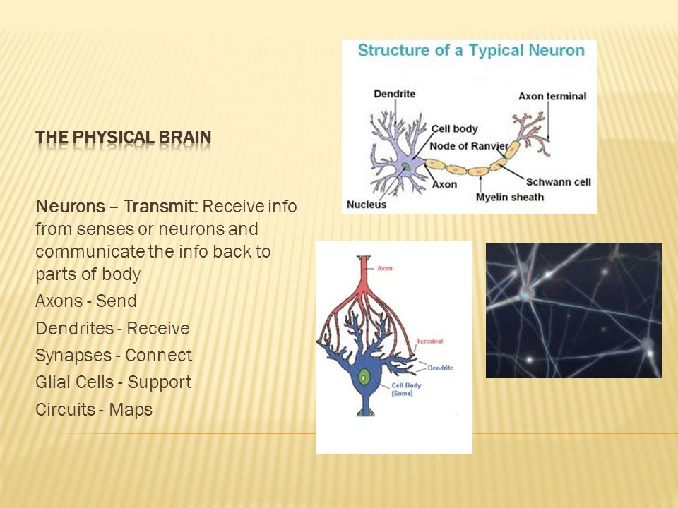 Neurons – Transmit: Receive info from senses or neurons and communicate the info back to parts of body Axons - Send Dendrites - Receive Synapses - Connect Glial Cells - Support Circuits - Maps