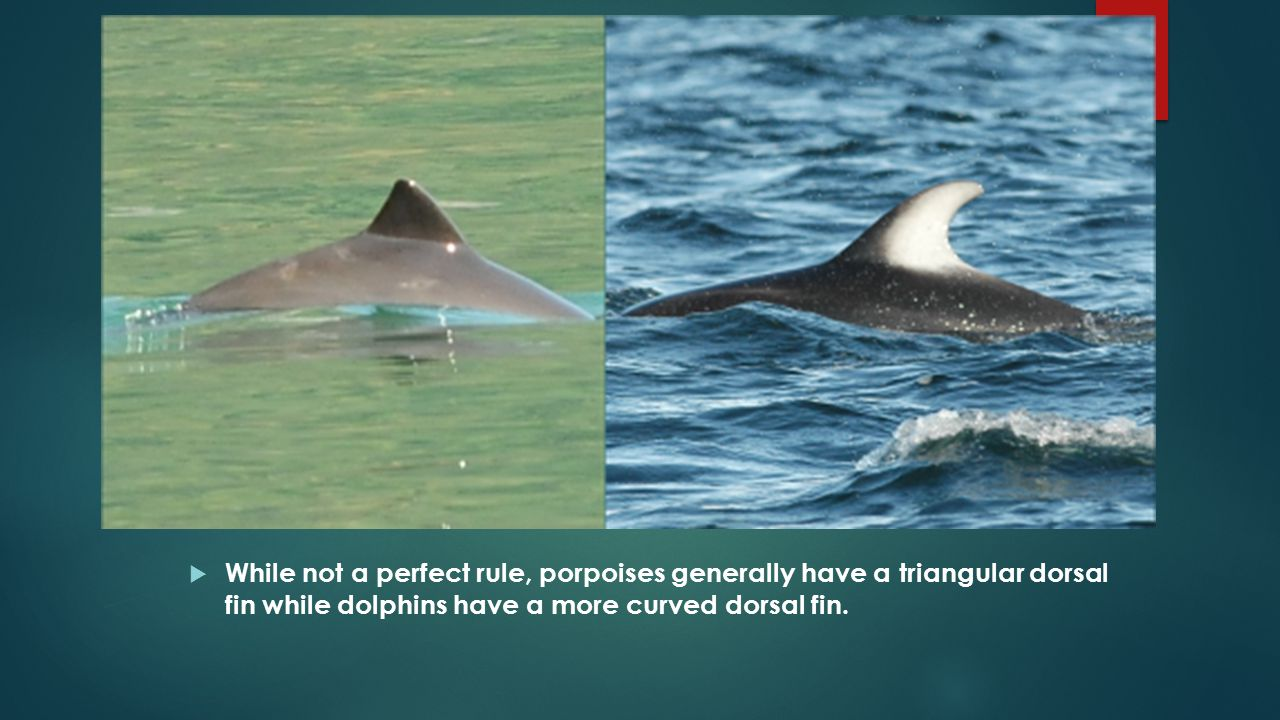  While not a perfect rule, porpoises generally have a triangular dorsal fin while dolphins have a more curved dorsal fin.