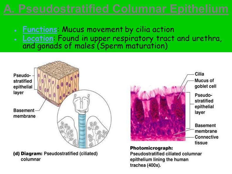 A. Pseudostratified Columnar Epithelium ● Functions: Mucus movement by cilia action ● Location: Found in upper respiratory tract and urethra, and gona