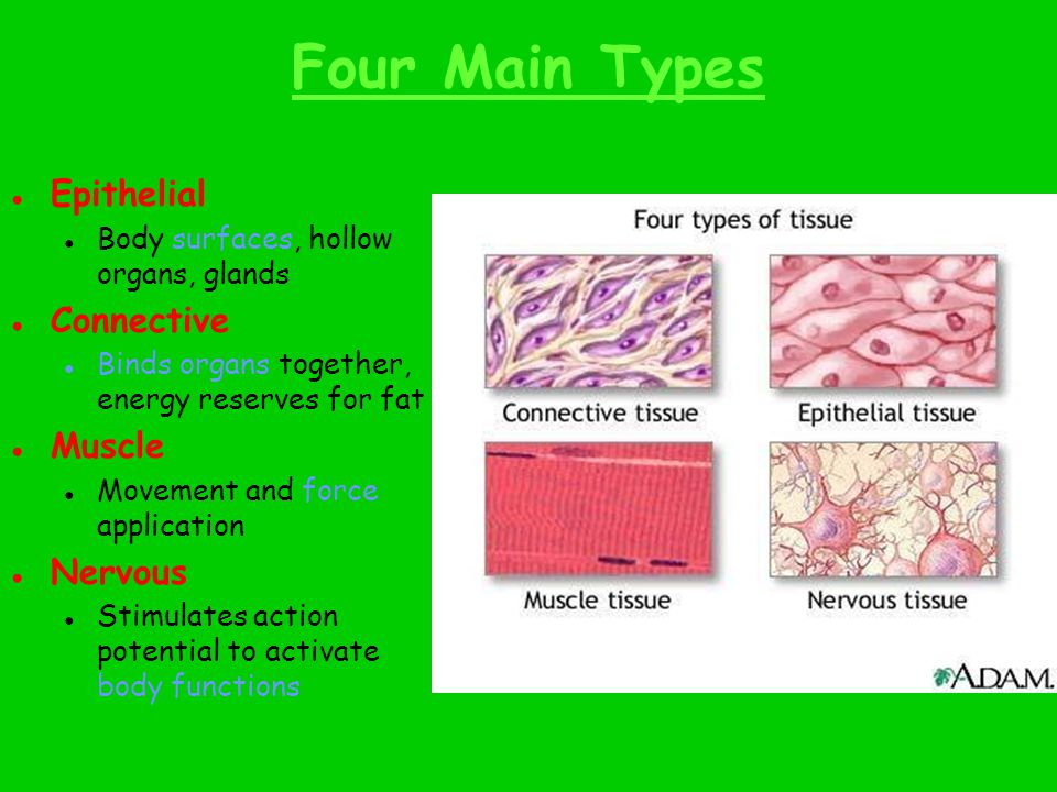 Four Main Types ● Epithelial ● Body surfaces, hollow organs, glands ● Connective ● Binds organs together, energy reserves for fat ● Muscle ● Movement