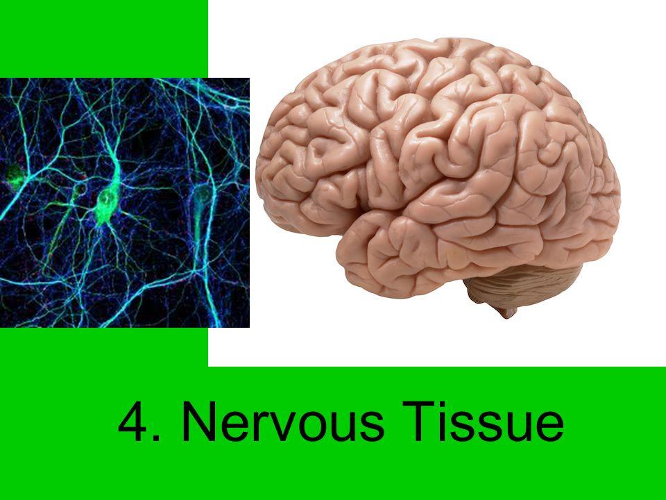 4. Nervous Tissue