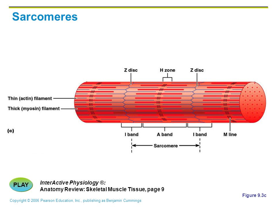 Copyright © 2006 Pearson Education, Inc., publishing as Benjamin Cummings Sarcomeres Figure 9.3c PLAY InterActive Physiology ®: Anatomy Review: Skelet