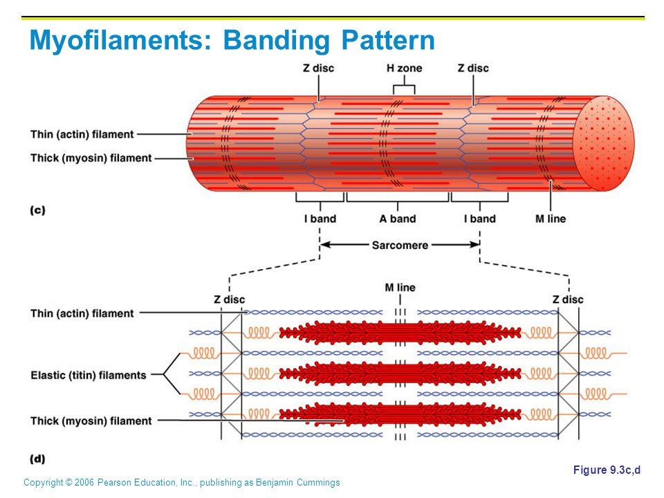 Copyright © 2006 Pearson Education, Inc., publishing as Benjamin Cummings Myofilaments: Banding Pattern Figure 9.3c,d