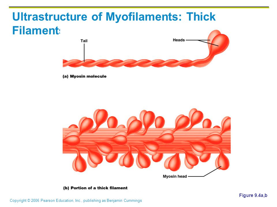 Copyright © 2006 Pearson Education, Inc., publishing as Benjamin Cummings Ultrastructure of Myofilaments: Thick Filaments Figure 9.4a,b