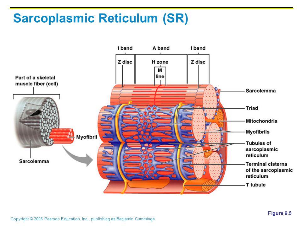 Copyright © 2006 Pearson Education, Inc., publishing as Benjamin Cummings Sarcoplasmic Reticulum (SR) Figure 9.5