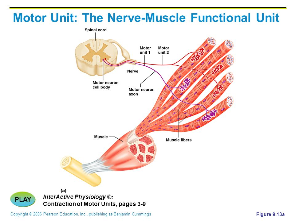 Copyright © 2006 Pearson Education, Inc., publishing as Benjamin Cummings Motor Unit: The Nerve-Muscle Functional Unit PLAY InterActive Physiology ®:
