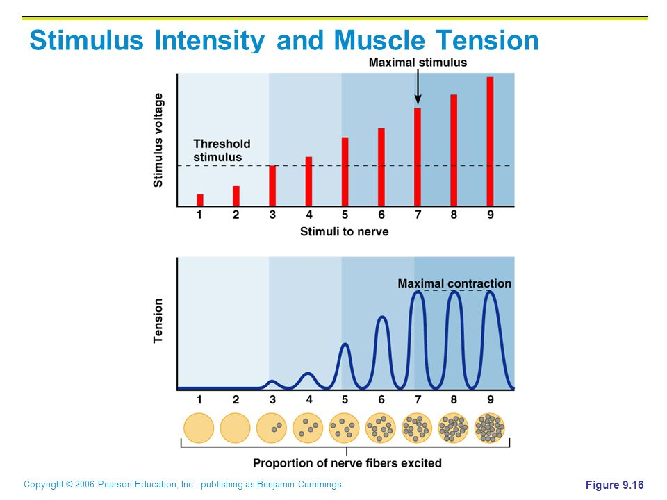 Copyright © 2006 Pearson Education, Inc., publishing as Benjamin Cummings Stimulus Intensity and Muscle Tension Figure 9.16