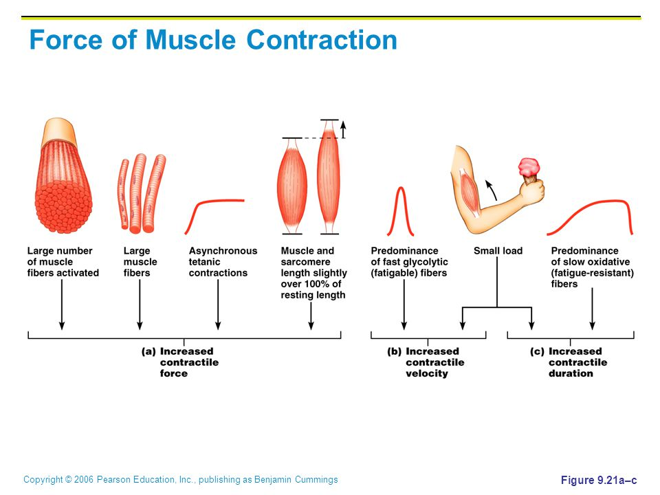 Copyright © 2006 Pearson Education, Inc., publishing as Benjamin Cummings Force of Muscle Contraction Figure 9.21a–c