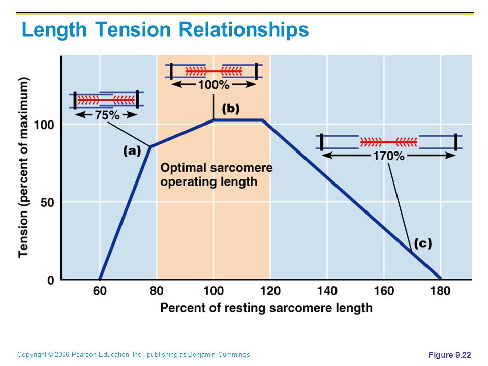 Copyright © 2006 Pearson Education, Inc., publishing as Benjamin Cummings Length Tension Relationships Figure 9.22